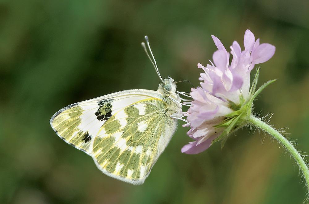Bath White - Pontia daplidice