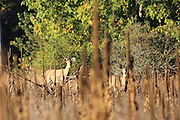 This pair of female white-tailed deer were studying my movements very carefully.
