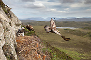 Golden eagle, Aquila chrysaetos, male leaving nest site, female and chick in background, Isle of Lewis, Outer Hebrides, Scotland, June 2018