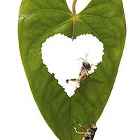 Two locusts eating a leaf