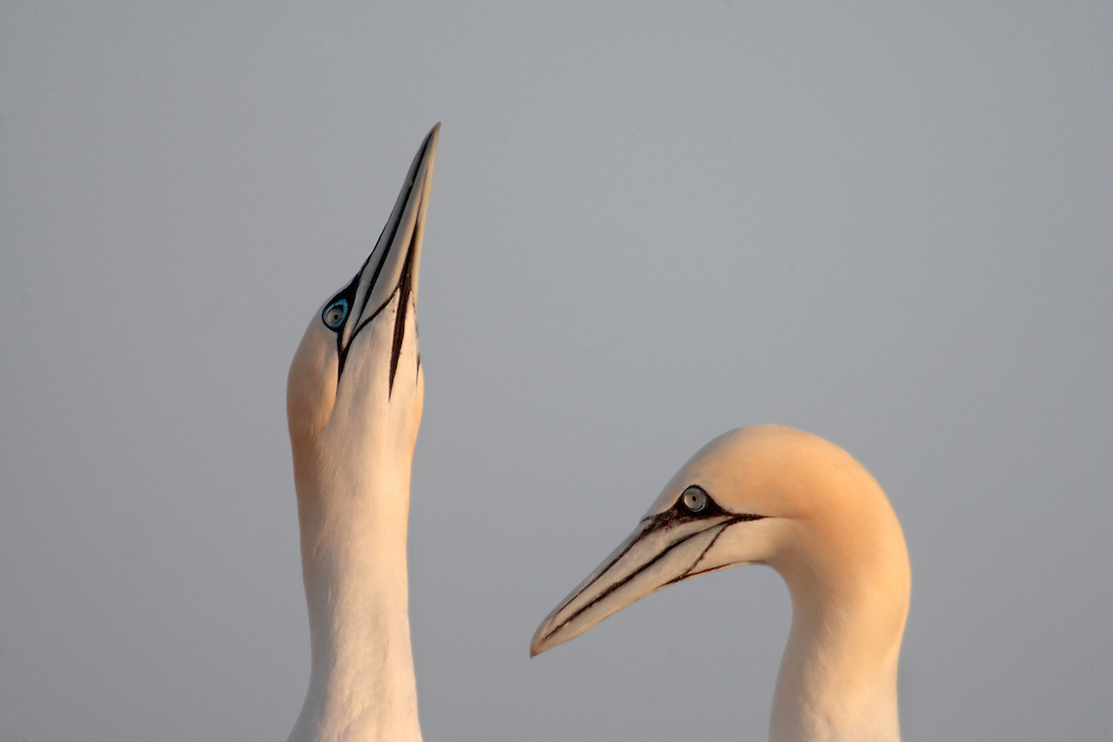 Gannets ( Sula bassana ) Ireland Saltee Islands south east coast
