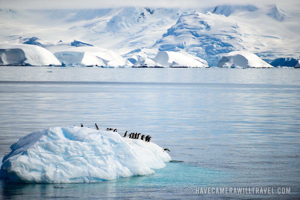 A group of Gentoo penguins catch a ride on a small iceberg in Fournier Bay next to Anvers Island in Antarctica. One penguin is diving off the iceberg into the water.