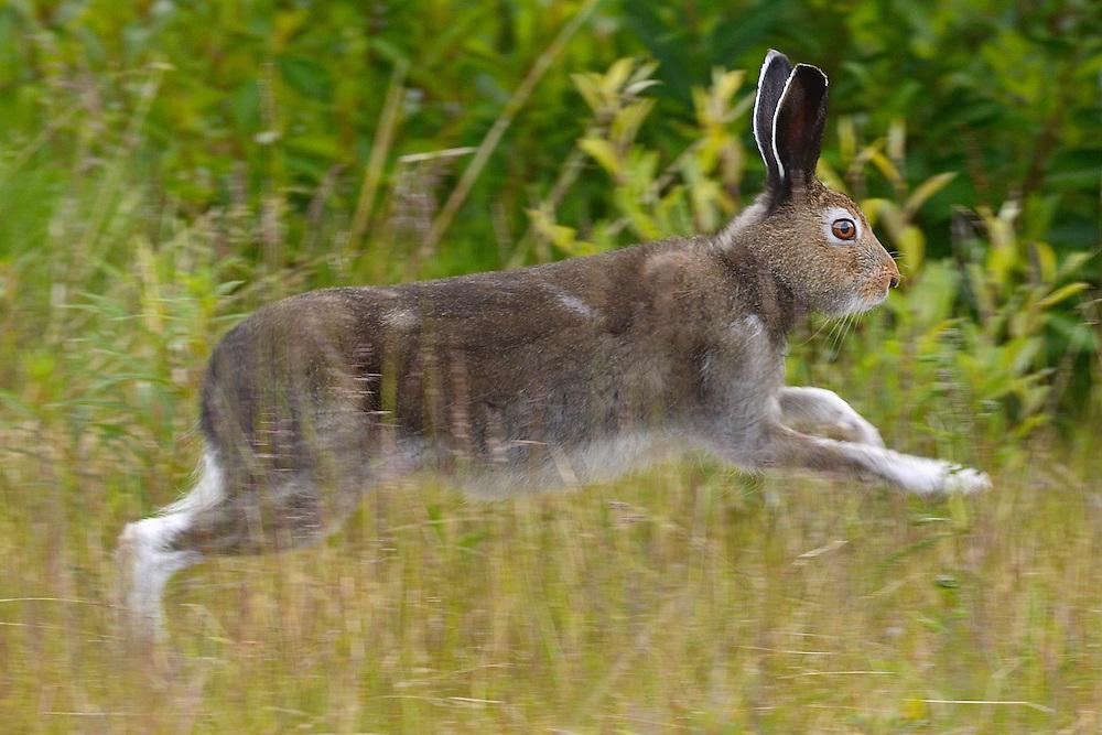 Mountain hare, Lepus timidus, Stora Sjöfallet National Park, Laponia UNESCO World Heritage Site, Greater Laponia rewilding area, Lapland, Norrbotten, Sweden