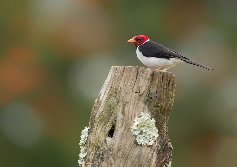Single yellow-billed cardinal (Paroaria capitata), species in the tanager family, Big Island, Hawaii