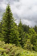Spriessender Fichtenwald auf der Alp Flix im Kanton Graubünden an einem bedeckten Tag im Juni.