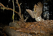 Male Ruffed grouse (Bonasa umbellus) assesses the impact of his stunning drumming display. The Bob Marshall Wilderness Area (northern Montana, USA). Male starts his drumming display around 3am and continues to drum, with unwavering continuity, every 6.5 minutes until sun rises over horizon. Camera camouflaged in debris below the drumming log with an off camera flash fired by wireless controller from a hide 50 m away.