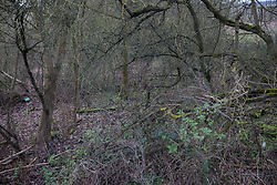 Harefield, UK. 17 January, 2020. Woodland adjacent to Harvil Road in the Colne Valley which is expected to be destroyed this weekend by HS2. Activists from Stop HS2 and Extinction Rebellion are beginning a three-day 'Stand for the Trees' protest in the area timed to coincide with the tree felling work. Bailiffs acting for HS2 have been evicting Stop HS2 activists from the Colne Valley wildlife protection camp for the past week and a half. 108 ancient woodlands are set to be destroyed by the high-speed rail link.