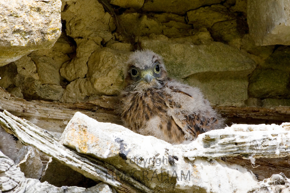 Baby buzzard in barn, Asthall, The Cotswolds, Oxfordshire, England, United Kingdom