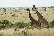 Two giraffes standing in savannah, Masai Mara, Kenya