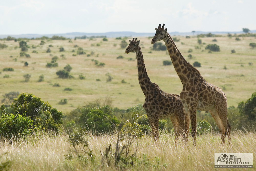 Two giraffes standing in savannah, Masai Mara, Kenya