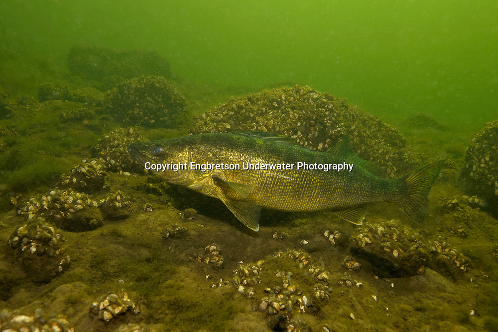 Walleye (on rocky lake bottom with Zebra Mussels)<br /> <br /> Engbretson Underwater Photography