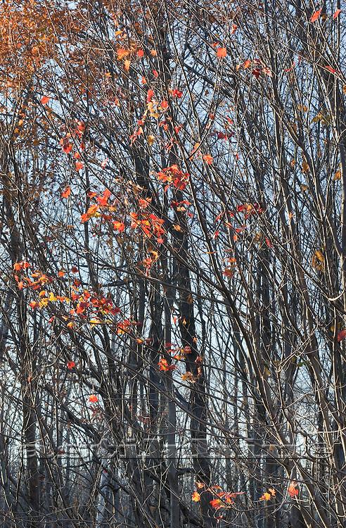 Last leafs