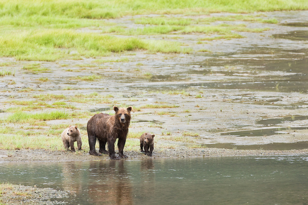 Sow brown bear (Ursus arctos) and Spring cubs near Horn Creek looking for spawning salmon on Glacier Spit in Chinitna Bay area of Lake Clark National Park in Southcentral Alaska. Summer. Afternoon.