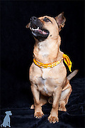 Kilmer posing for his adoption portrait.  The yellow bandanna  signifies that he's been a part of the program for a few weeks and is almost ready to be adopted.  Dog photographs by Michael Kloth.