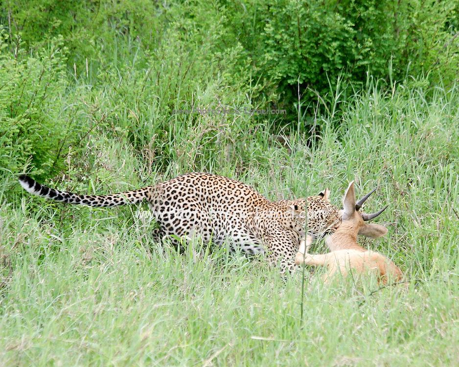 Africa, Tanzania, Serengeti National Park, Leopard (Panthera pardus) Hunts an Impala (Aepyceros melampus) at the moment of the kill,