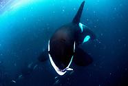 Orcinus orca Norway