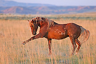 The stallion, Kenya, invites the herd stallion to battle on the dusty flats of the McCullough Peaks Herd Management Area outside of Cody, Wyoming.
