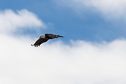 A Bald Eagle in flight in Grand Teton National Park Wyoming