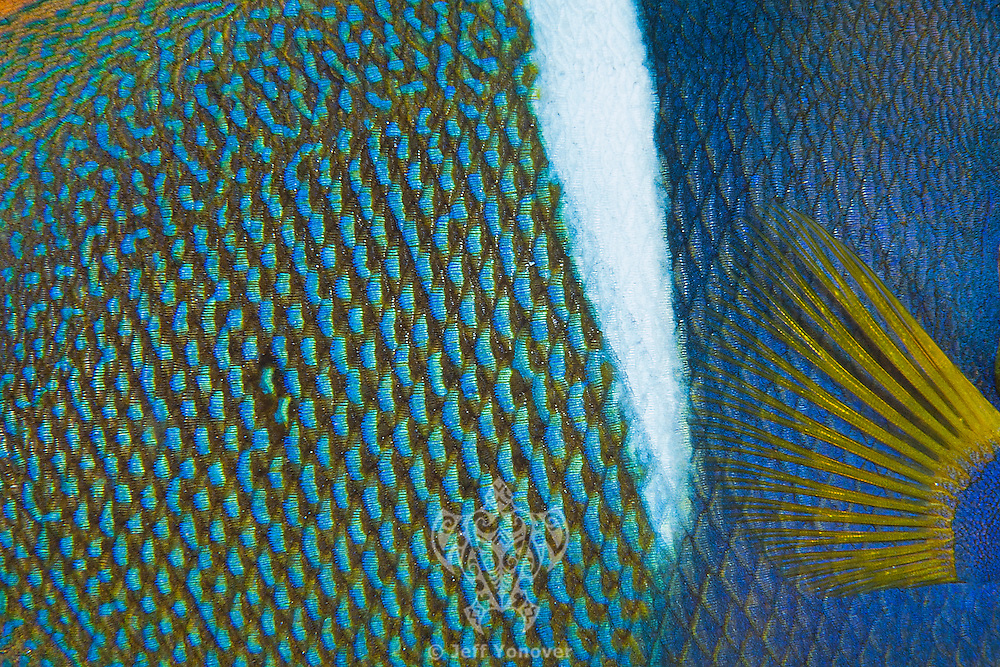 King Angelfish scale detail<br /> <br /> <br /> Shot at Cocos Island, Costa Rica