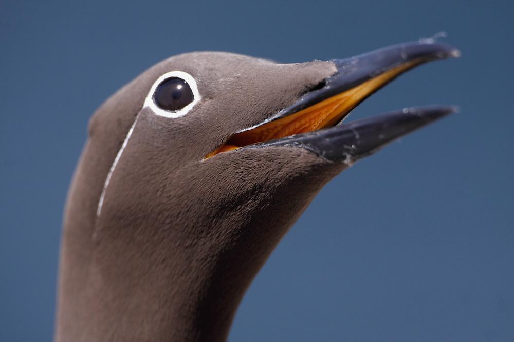 Guillemot ringed variant Uria aalge Saltee Islands Ireland