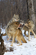 A pack of gray wolves (Canis lupus) interact in snowy, wooded habitat. Captive pack.
