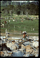 Cowboy on horse lassos cattle in corral-- deforested pastures of Amazon in distance; Amazonas Brazil