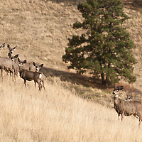 group of mule deer does and fawns in grass on hill side