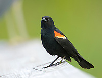 Red-winged Blackbird (Agelaius phoeniceus) male, Green Cay Nature Centre, Delray Beach, Florida, USA   Photo: Peter Llewellyn