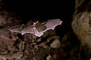 A Mexican Brown Bat, also called a Cave Myotis (Myotis velifer) flying into a limestone cave, South Texas.