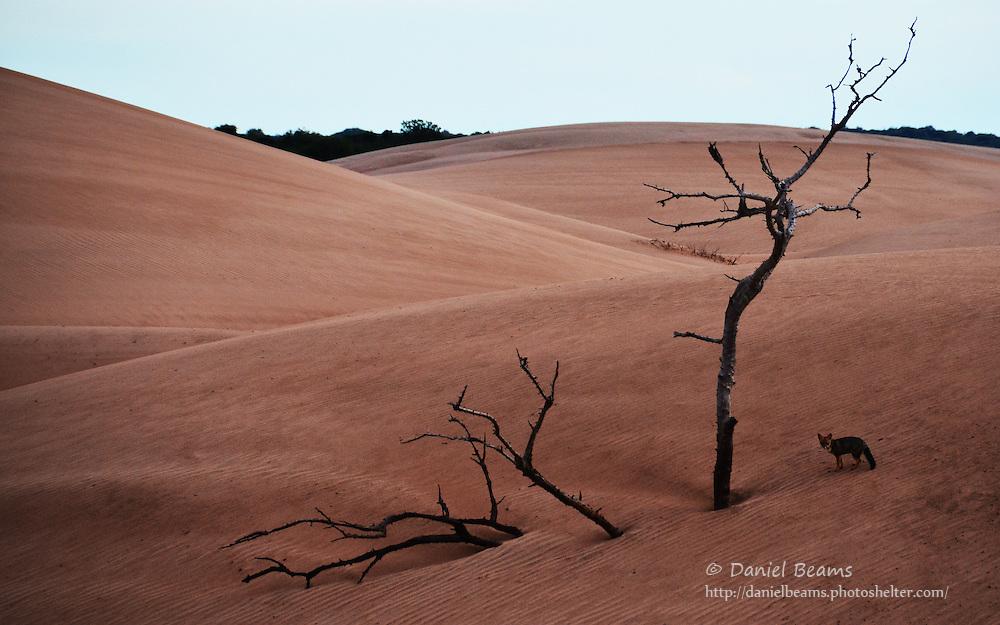 Fox on sand dunes in Isosog