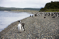 A Magellanic Penguin sits at attention on the Isla Martillo near Estancia Harberton and Ushuaia, Argentina. The island is the home of one of the largest penguin rookery in Tierra del Fuego.