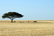 Israel, Negev, Horsemen at rest under a lone acacia tree in a wheat field