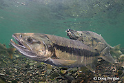 courtship of chum salmon, dog salmon, silverbrite salmon, or keta salmon, Oncorhynchus keta; female in foreground with male approaching from behind; in spawning stream, Bear Trap, Port Gravina, Alaska ( Prince William Sound )