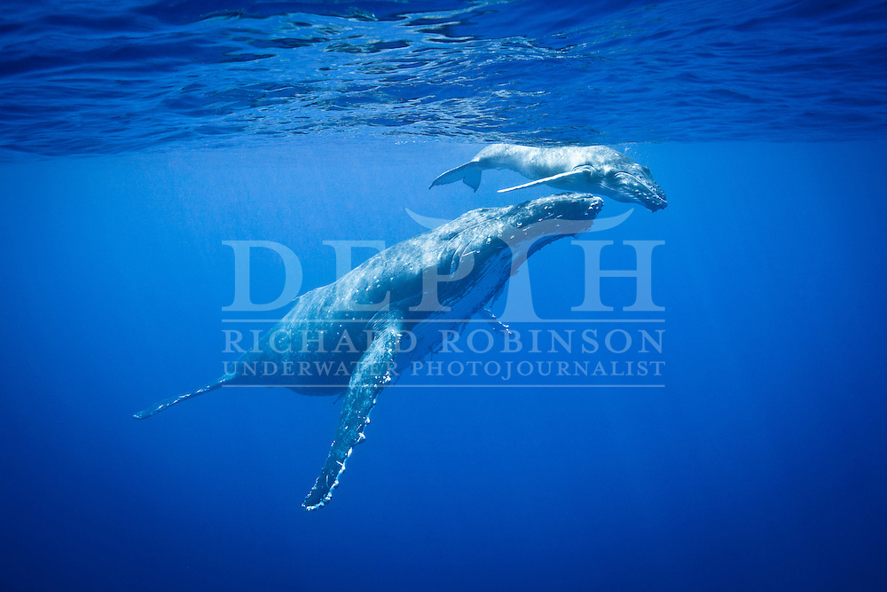 A female Megaptera novaeangliae (Humpback Whale) keeps a close eye on her calf  off the coast of the Vava'u Island group in the Kingdom of Tonga..Friday 31 August 2012..Photograph Richard Robinson © 2012..