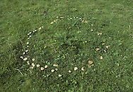 Fairy Ring Champignon - Marasmius oreades