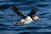 Puffin in flight over deep blue sea. Uncropped picture | Lundefugl i flukt over djup blå sjø. Bildet er ubeskjært.