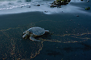 Hawksbill Turtle, Hawaii, USA<br />