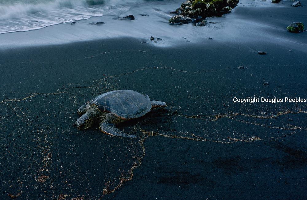 Hawksbill Turtle, Hawaii, USA<br />
