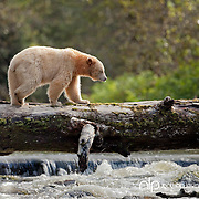 Spirit Bear walking across log fishing for salmon;  British Columbia in wild.