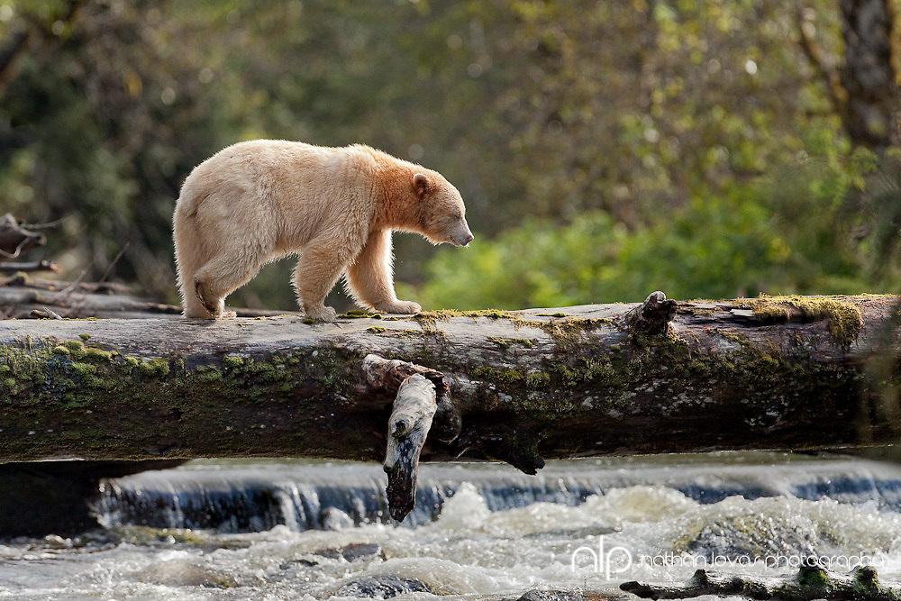 Spirit Bear walking across log fishing for salmon;  British Columbia in wild.
