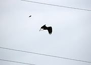 Blackbird about to dive bomb a Jekyll Island Bald Eagle