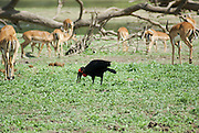 Southern ground hornbill (Bucorvus leadbeateri), with its wattle (red) clearly seen. This is the largest of the hornbills and is primarily ground-dwelling. It is entirely carnivorous. Its diet includes insects, reptiles and small mammals. This bird is found in woodland and grassland habitats in Africa. A herd of Impala (Aepyceros melampus) Photographed Tanzania
