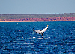 A Humpback whale tail slapping just off James Price Point north of Broome, site of the proposed LNG processing hub.