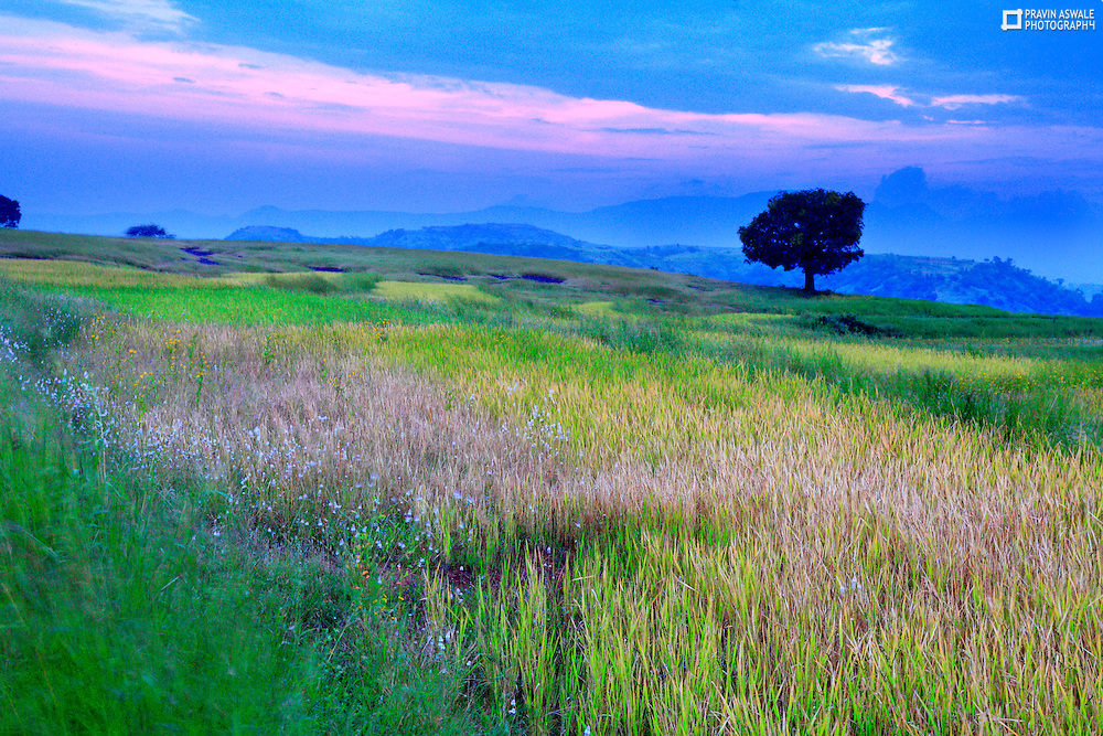 ALONE MANGO TREE IN THE FIELD. THE RICE PADDY WAS NEAR RIPE AND READY TO HARVEST, THE SKY WAS COLORFUL!