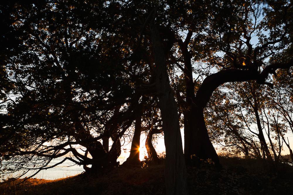 Tree silhouettes at sunset on a hill on San Juan Island, County Park, Washington, overlooking the Haro Strait.