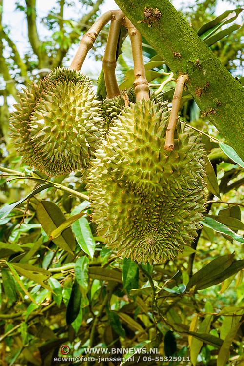 THA/Koh Samui/20160804 - Vakantie Thailand 2016 Koh Samui, Durian boom