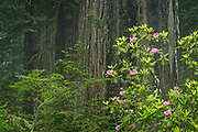Rhododendron and redwood trees; Del Norte Coast Redwoods State Park, Calfornia.