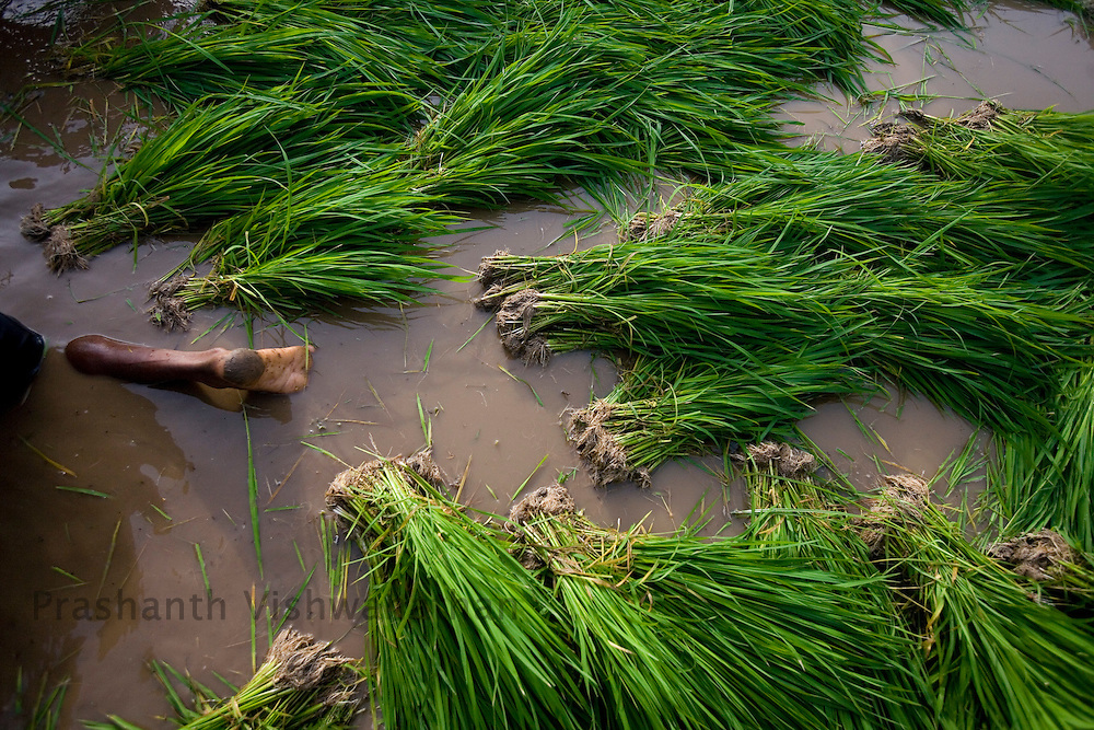 Rice saplings are uprooted and arranged for replantation on a rice field in the outskirts of Mumbai, India, on Saturday, July. 12,2008. Photographer: Prashanth Vishwanathan/Bloomberg News