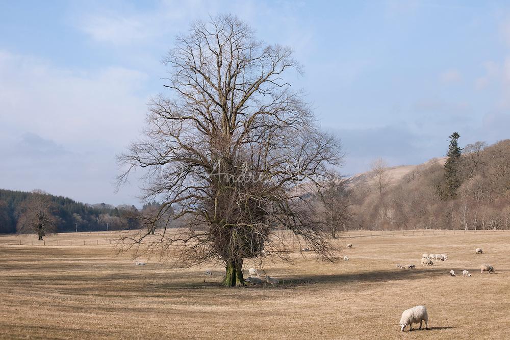 Tilia x europaea (lime). Alton Albany Farm, Barr, Ayrshire, Scotland