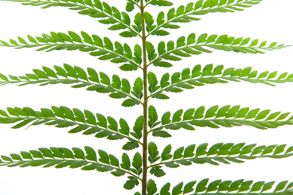 Mother Sheild Fern, Polystichum proliferum